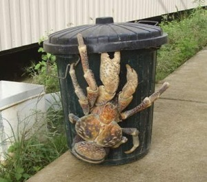 coconut_crab-biggest+land-dwelling+arthropod+in+the+the+world
